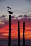 Puesta del sol del pelícano Foto de archivo libre de regalías