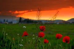 Puesta del sol del prado de las amapolas Fotos de archivo libres de regalías