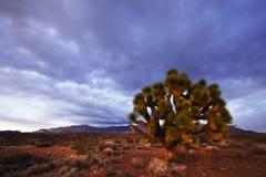 Puesta del sol del árbol y del desierto de Jushua Imagen de archivo