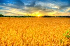 Puesta del sol del trigo Imágenes de archivo libres de regalías