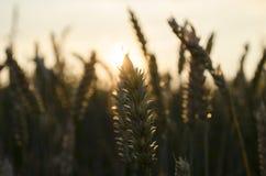 Puesta del sol del verano, puntos del campo de trigo Imagen de archivo libre de regalías