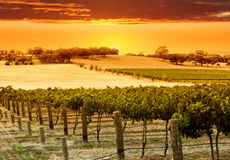 Puesta del sol del viñedo Imagen de archivo