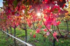 Puesta del sol del viñedo Foto de archivo