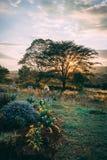 Puesta del sol detrás del árbol en África foto de archivo