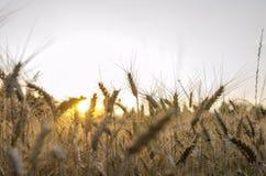 Puesta del sol detrás del campo de trigo Imágenes de archivo libres de regalías
