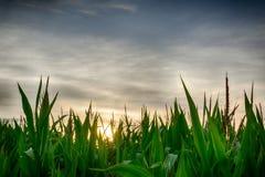 Puesta del sol detrás del maíz Fotos de archivo libres de regalías