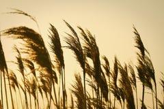 Puesta del sol e hierbas altas Fotografía de archivo libre de regalías