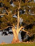 Puesta del sol en árbol de goma imagen de archivo libre de regalías