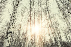 Puesta del sol en bosque del abedul del invierno Imágenes de archivo libres de regalías