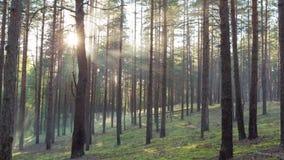 Puesta del sol en bosque del pino con los rayos ligeros metrajes