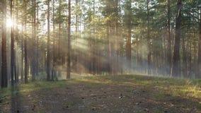 Puesta del sol en bosque del pino con los rayos ligeros almacen de metraje de vídeo