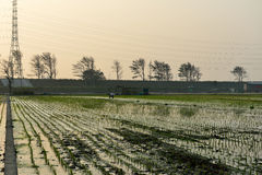 Puesta del sol en campos de arroz Imágenes de archivo libres de regalías