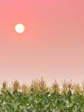 Puesta del sol en cielo sobre el campo de maíz Imagen de archivo