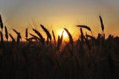 Puesta del sol en conos del trigo Foto de archivo libre de regalías