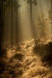 Puesta del sol en el bosque Fotografía de archivo