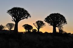 Puesta del sol en el bosque del árbol de la aljaba Imagen de archivo libre de regalías