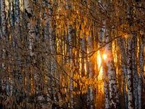 Puesta del sol en el bosque del abedul Fotografía de archivo libre de regalías