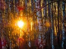 Puesta del sol en el bosque del abedul Fotos de archivo