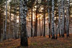 Puesta del sol en el bosque del otoño Imagenes de archivo