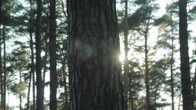 Puesta del sol en el bosque del pino almacen de metraje de vídeo
