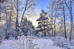 Puesta del sol en el bosque del invierno Imagenes de archivo