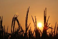 Puesta del sol en el campo de arroz Foto de archivo
