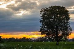 Puesta del sol en el campo del arroz Fotos de archivo