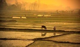Puesta del sol en el campo del arroz