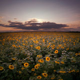Puesta del sol en el campo del girasol. fotos de archivo libres de regalías