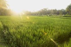 Puesta del sol en el ricefield Ubud, Bali, Indonesia Fotos de archivo