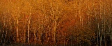 Puesta del sol en glinting en árboles de abedul de plata Imagen de archivo libre de regalías