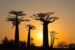 Puesta del sol en la avenida de los baobabs imagenes de archivo