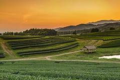 Puesta del sol en la plantación de té en Boon Rawd Farm Fotografía de archivo libre de regalías