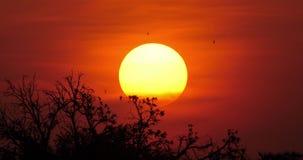 Puesta del sol en la sabana, Masai Mara Park en Kenia, almacen de video