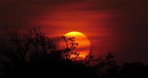 Puesta del sol en la sabana, Masai Mara Park en Kenia, metrajes