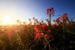 Puesta del sol en las flores del prado de la cubierta de la colina Imagen de archivo libre de regalías