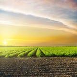 Puesta del sol en nubes sobre campo verde de la agricultura con los tomates Foto de archivo
