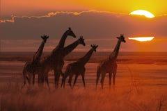 Puesta del sol en sabana africana con una manada de la jirafa fotografía de archivo