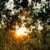 Puesta del sol en un birchwood Fotografía de archivo libre de regalías