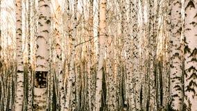 Puesta del sol en un bosque del abedul en Siberia Fotos de archivo libres de regalías