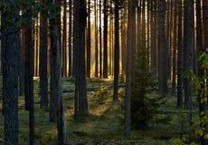 Puesta del sol en un bosque del pino Imagenes de archivo