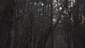 Puesta del sol en un bosque oscuro y muerto del pino almacen de metraje de vídeo