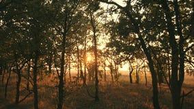 Puesta del sol en un bosque del otoño del bosque del roble en la puesta del sol Vídeo en el movimiento metrajes