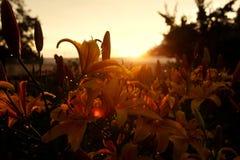 Puesta del sol en un día de verano en un campo de flor Imagen de archivo libre de regalías