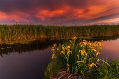Puesta del sol en un pequeño río Iris amarillos salvajes florecientes Imagenes de archivo