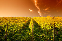 Puesta del sol en un wineyard Foto de archivo libre de regalías
