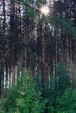 Puesta del sol en una arboleda del pino Fotos de archivo