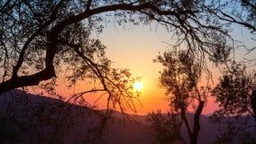 Puesta del sol en una arboleda verde oliva Fotografía de archivo libre de regalías