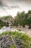 Puesta del sol en una arboleda verde oliva imagen de archivo libre de regalías