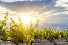 Puesta del sol en viñedos Imágenes de archivo libres de regalías